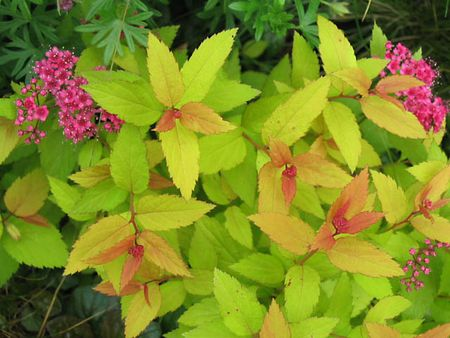 spiraea_japonica_Gold_Flame