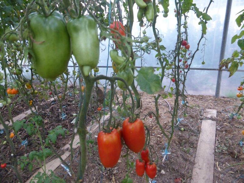 16-serre-tomates (5)