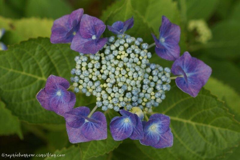été hortensia violet