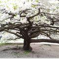 Cerisier en Fleurs , Jardin des Plantes