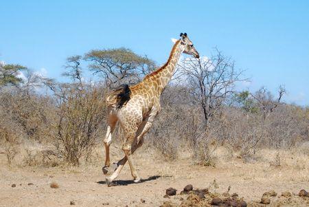 Girafe_d_Afrique_du_Sud__parc_Kruger__Afrique_du_Sud