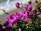 bougainvillees_140x105