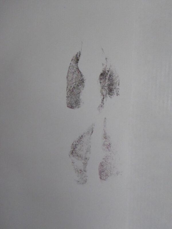 trace chevreuil