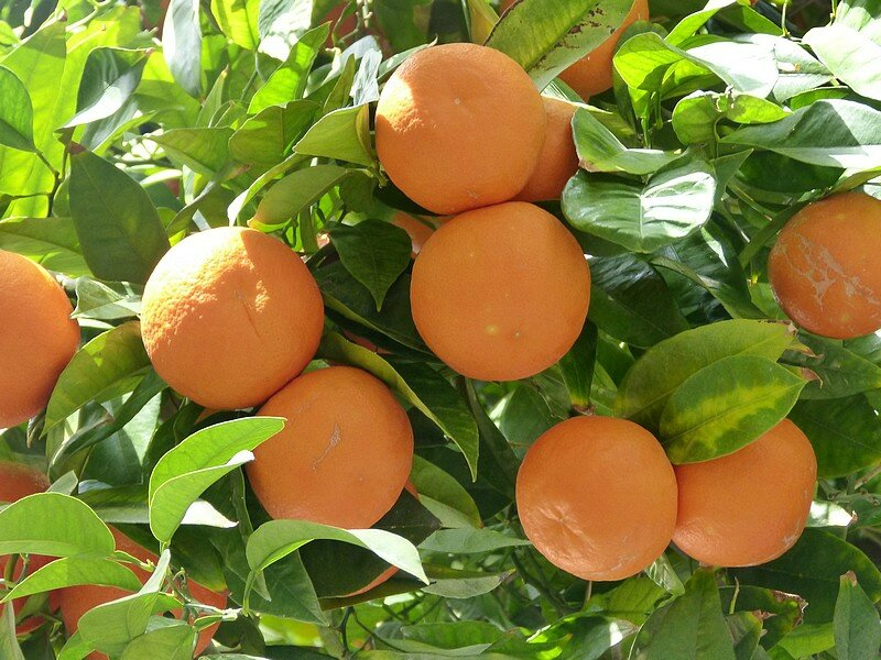 les oranges amères
