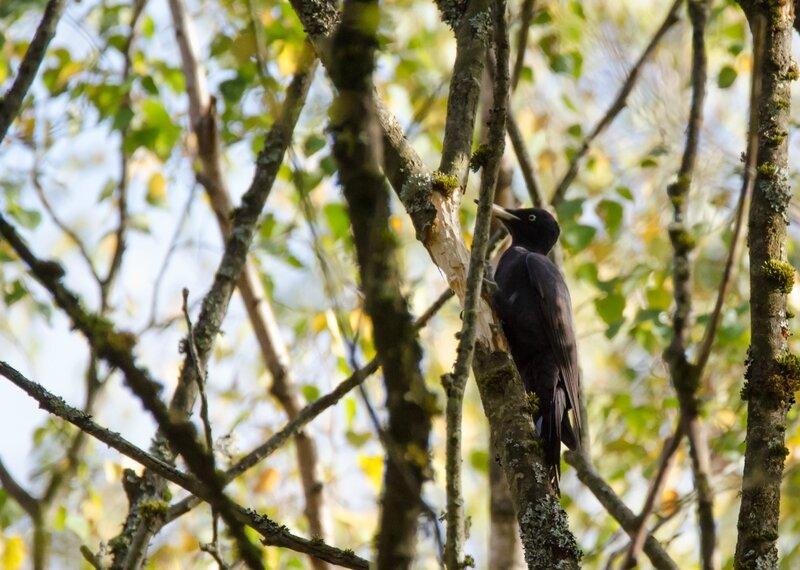 Pic noir - Dryocopus martius (2)