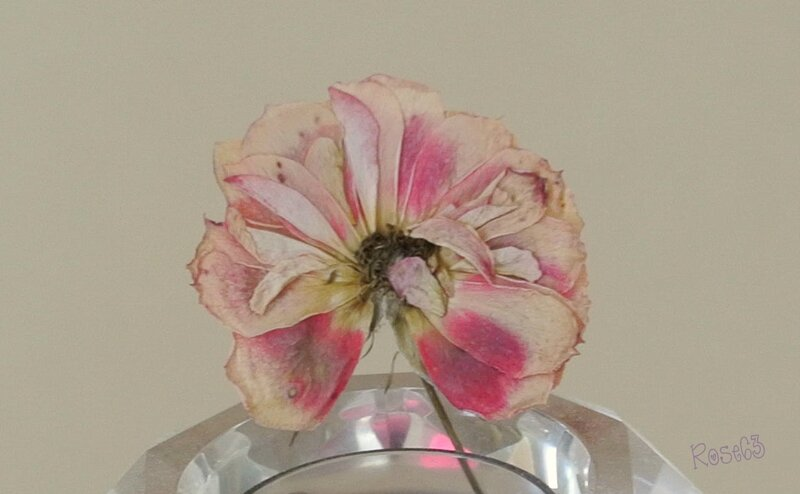 Rose63Une de mes fleurs séchées