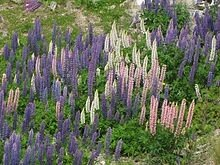 Lupins_sauvages