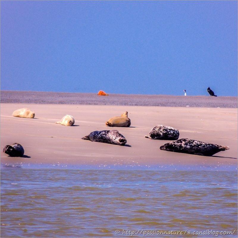 Phoques baie de Somme (9)