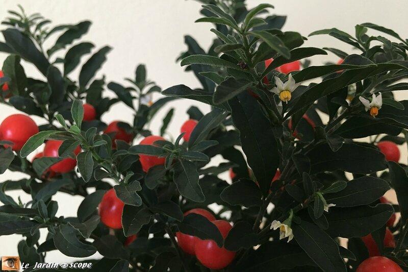 Solanum-1