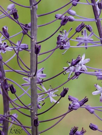 scille fausse jacinthe