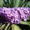 fleur de l'arbre à papillons