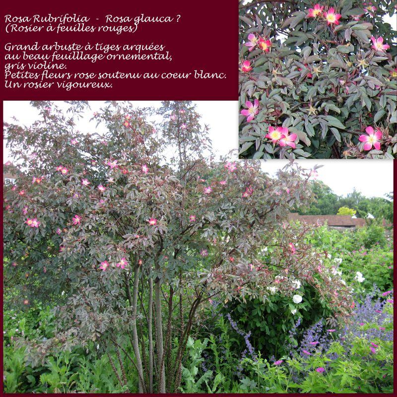 Rosa rubrifolia