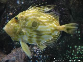 poisson_saint_pierre_aquarium_croisic