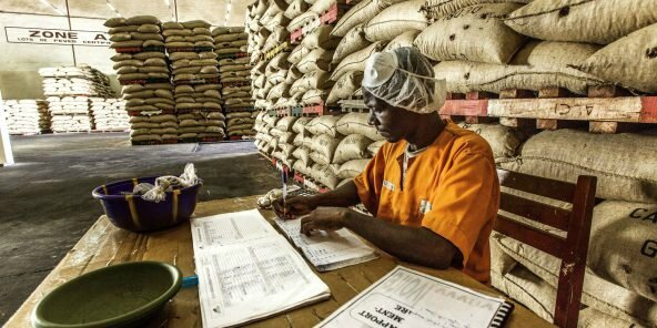 Filière cacao en Côte d'Ivoire: Vu l'importance de la prime, beaucoup font du cacao certifié fictif