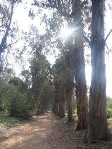 All_e_des_Eucalyptus