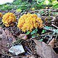 Les splendides formations coralliennes de Ramaire dorée.