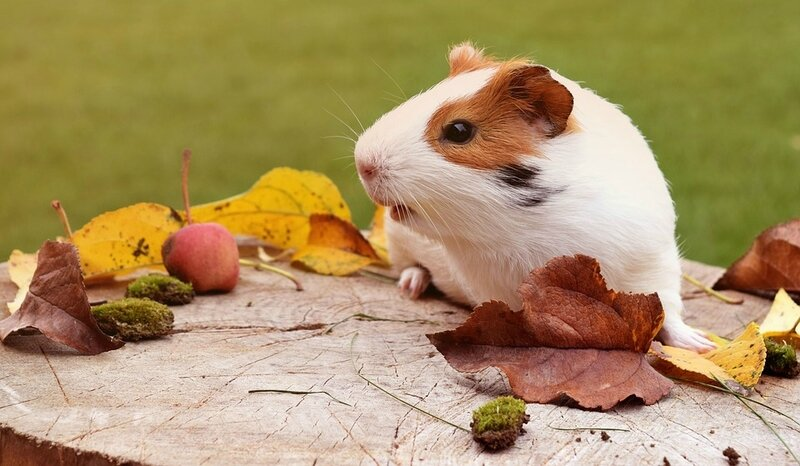 guinea-pig-1817571_960_720