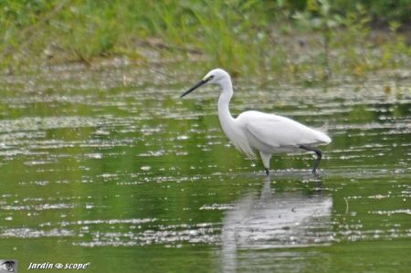 Aigrette garzette en train de pêcher
