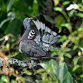Pigeon dans châtaigner (2)