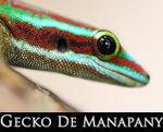 LIEN_Gecko_de_manapany_copie