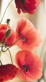 coquelicot, fleur des champs