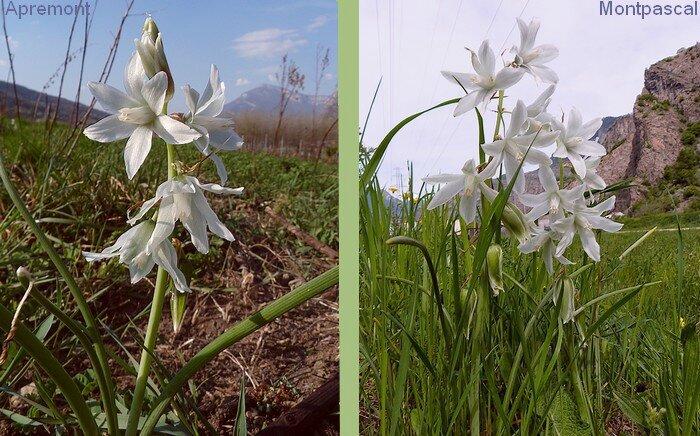 inflorescence en grappe unilatérale de 3 à 12 fleurs