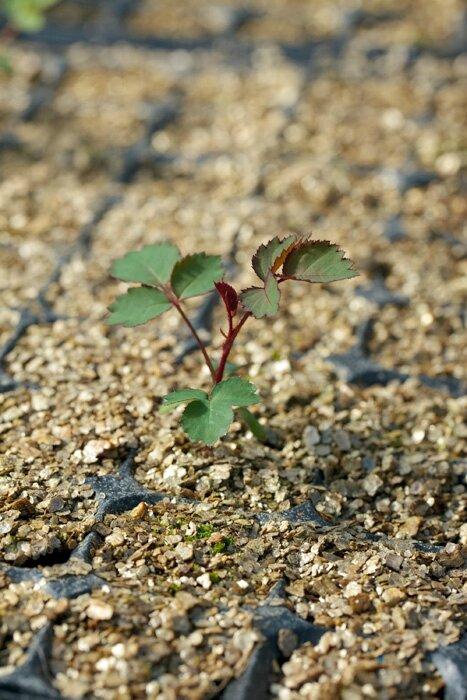 cerise hybridation-germination-plantule