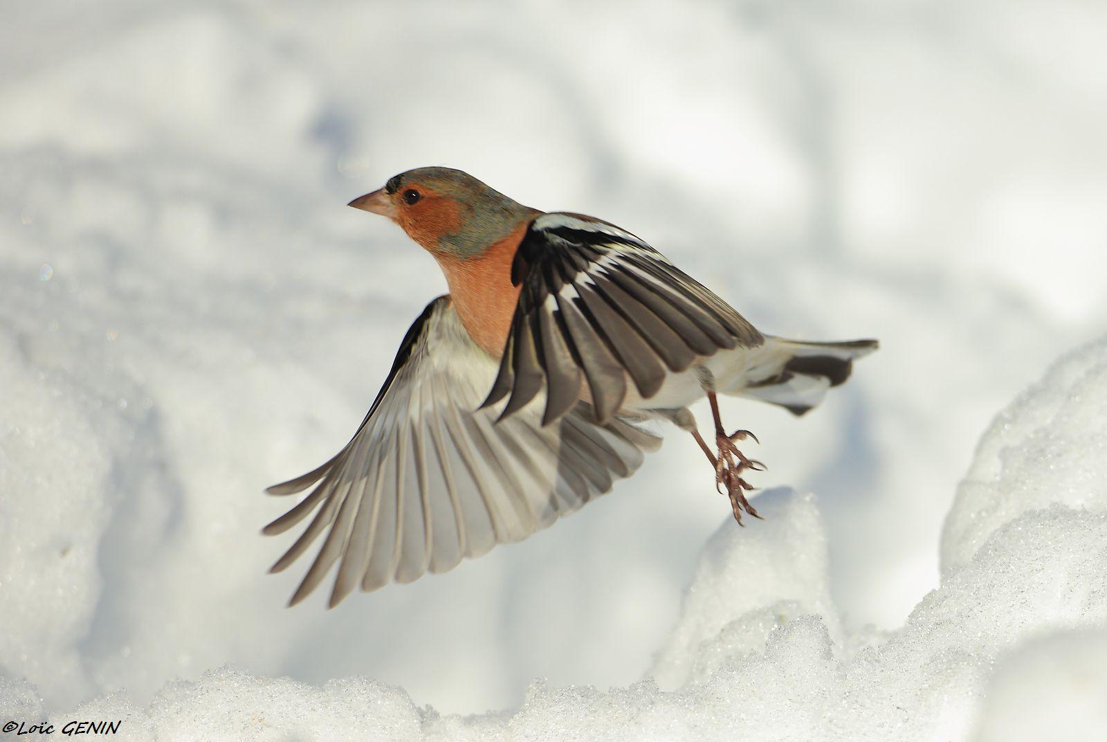 Oiseaux passereaux for Liste oiseaux des jardins