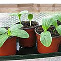 COURGETTES RONDES 1