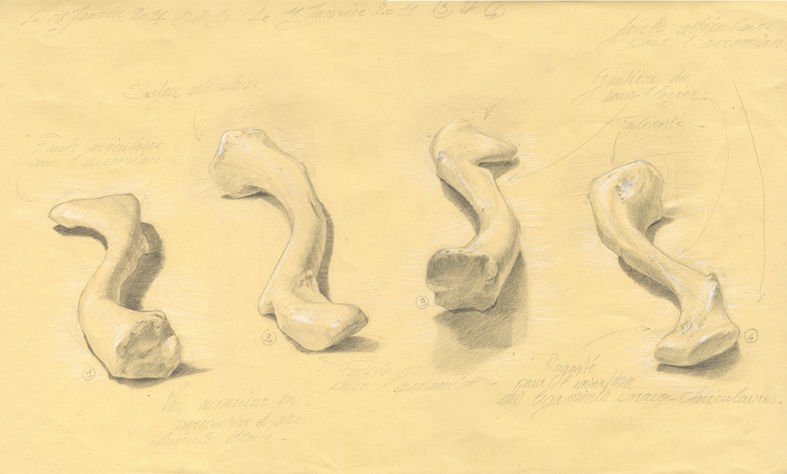 clavicule 05