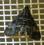 Duponchelia fovealis fovealis 03 (1)