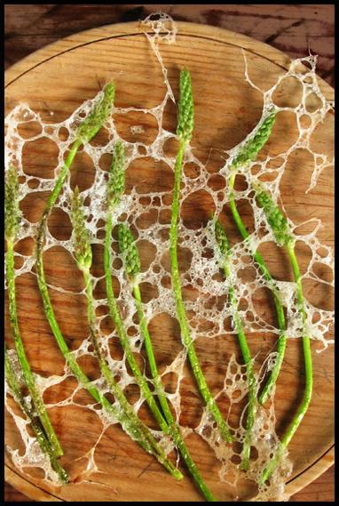 asperge sauvage sous brume