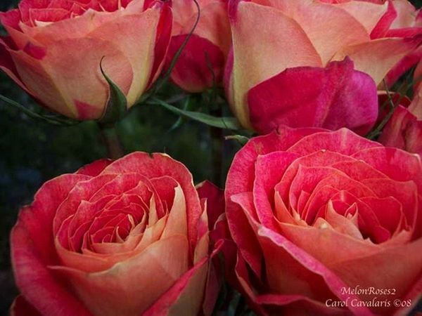 94505539_Melon_Roses_Two