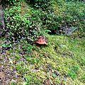 Cèpe de (sa)pins, boletus pinophilus, Barlagne, 1350 m