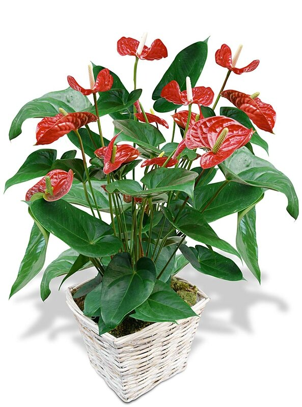 anthurium-rouge_17834