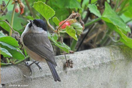 Mésange nonnette • Poecile palustris