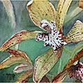 Cymbidium tracyanum