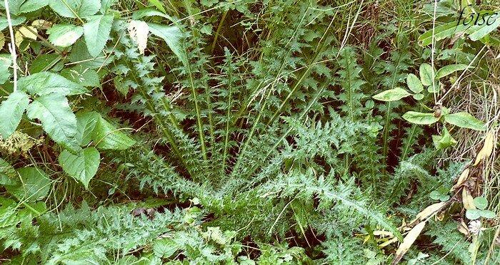 Cirse des marais blog v g tal for Plante 7 folioles