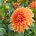 Dahlia Chateau-d'Urville (Label Rouge)