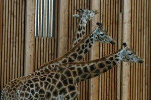 Girafe___trois_t_tes
