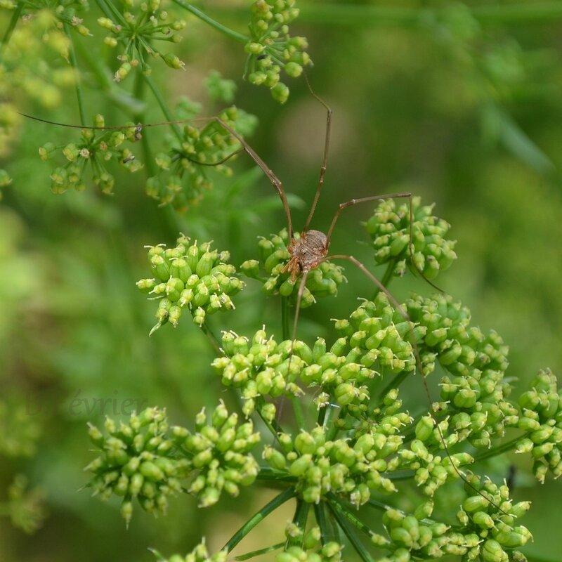 Opilion (Dicranopalpus ramosus)