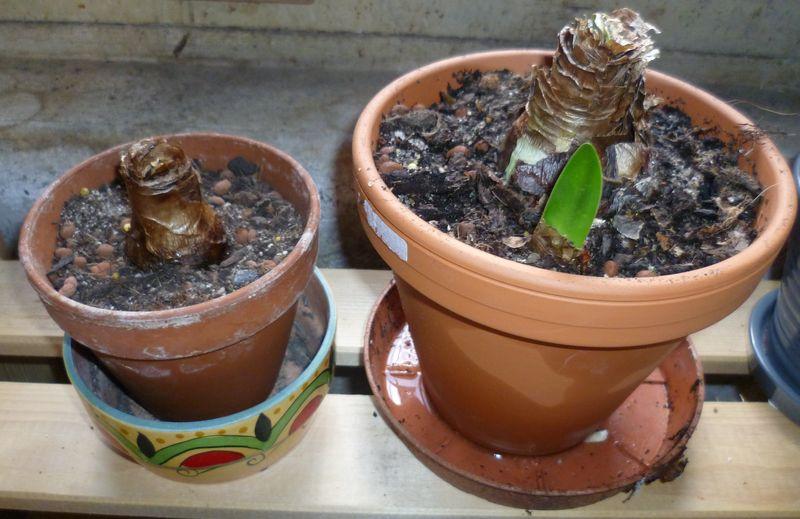 Amaryllis hippeastrum piments et bananier for Amaryllis plantation en pot