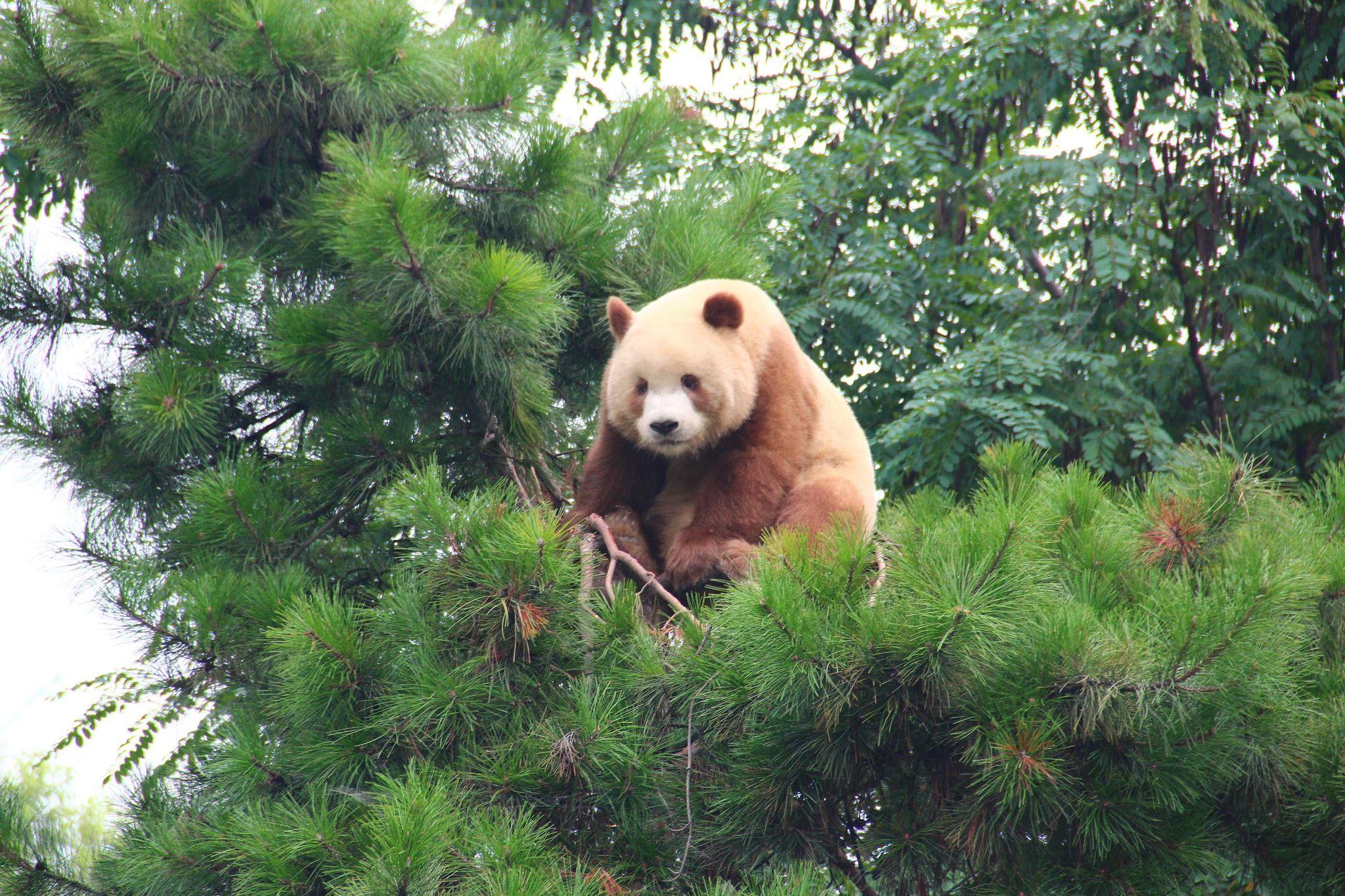 Image result for 熊猫七仔