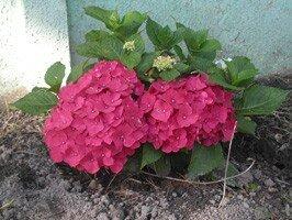 Le laurier-rose n'attend plus qu'un peu de soleil pour fleurir