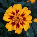 2009 07 04 Une fleur d'oeillet d'Inde