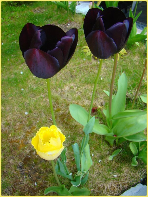 tulipenoire1