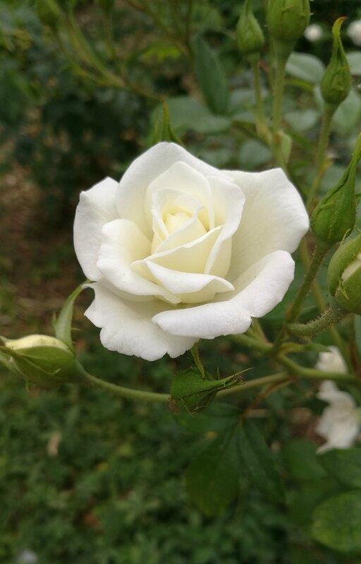 Place Bellecour-roses-beffroi (4)