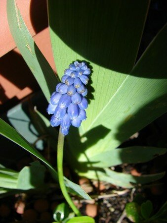 MUSCARI_ARMENIACUM__R_solution_de_l__cran_