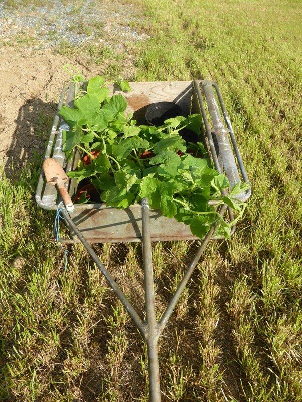 16-potimarrons-plantation (2)