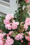 Fête Ecurie du Val Fête de la rose à Veules 276